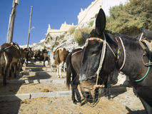 Donkeys in Santorini Stock Photos