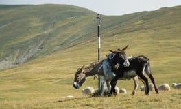 Donkeys and sheeps Royalty Free Stock Photo