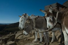 Donkeys Three. Transport of the simple kind awaits the order to move the next load to the next destination with patience Stock Photography