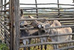 Donkeys. Three donkeys inside the wooden aviary. Green grass. Summer day Stock Image