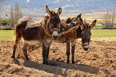 Donkeys to plow in the field Royalty Free Stock Photo