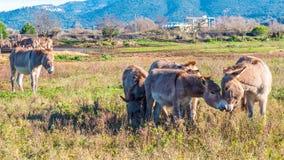 Donkeys in Tuscany, Italy Royalty Free Stock Photos