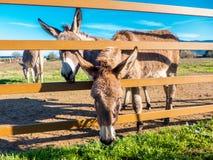 Donkeys in Tuscany, Italy Royalty Free Stock Photo