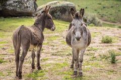 Donkeys. Two donkey in Gallura, Sardinia royalty free stock image
