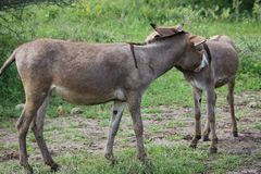 Donkeys Stock Photos