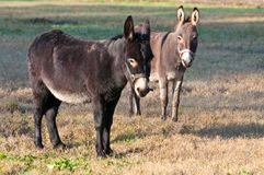 Donkeys. Two donkeys in a field Royalty Free Stock Photo