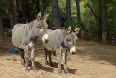 The donkeys Royalty Free Stock Photo