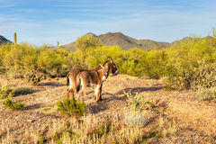 Donkeys. Two wild burros in beautifull Sonoran Desert, waiting patiently for photographer to take their picture stock photo