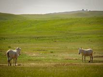 Donkeys. Two wild donkeys facing each other in South Stock Photo