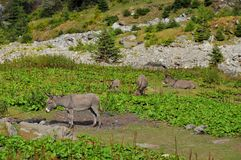 Donkeys up in the mountains Royalty Free Stock Photo