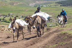 Donkeys on their way home with their load. Stock Image