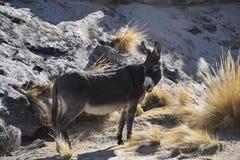 Donkeys in the vastness of the Altiplano. ALTIPLANO, BOLIVIA - SEPTEMBER 8, 2010:Donkeys in the vastness of the Altiplano. Altiplano is a vast plateau in the Stock Image