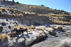 Donkeys in the vastness of the Altiplano. ALTIPLANO, BOLIVIA - SEPTEMBER 8, 2010:Donkeys in the vastness of the Altiplano. Altiplano is a vast plateau in the Royalty Free Stock Photos