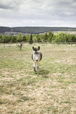 Donkeys walking Royalty Free Stock Photos
