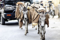 Donkeys walking on a street carying a luggage in India. Royalty Free Stock Photo