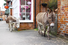 Donkeys walking through town in England, New Forest. Donkeys are roaming around wild in this town in the New Forest in England Royalty Free Stock Image