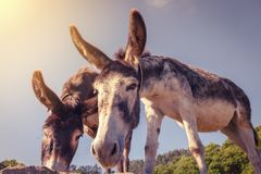 Donkeys watching us during the way of St. James, in Cantabria, S Stock Photos
