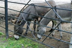 Donkeys at the zoo Royalty Free Stock Image