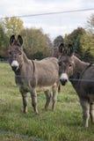 Donkies stockbilder