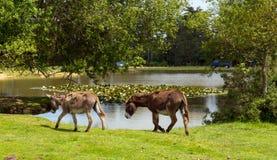 Donkies durch See neuer Forest Hampshire England Großbritannien an einem Sommertag Lizenzfreie Stockbilder