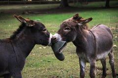 Donkies fighting Stock Photo