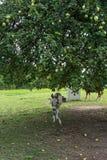 Donking есть траву и яблока на луге под большим деревом стоковое изображение rf