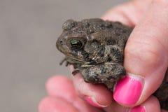Donna adulta che tiene una rana o un rospo Fotografia Stock