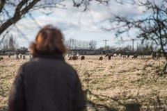 Donna adulta veduta esaminare un gregge dell'alpaca veduta in un prato Immagine Stock