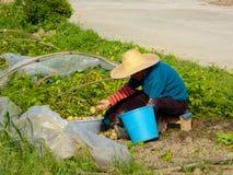 Donna agricola che fa il lavoro dell'azienda agricola nel campo Immagine Stock