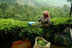 Donna alla piantagione di tè Fotografia Stock