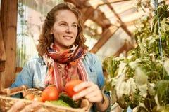 Donna amichevole che raccoglie i pomodori freschi dal giardino della serra che mette prodotti locali maturi in un canestro Fotografia Stock