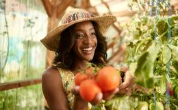 Donna amichevole che raccoglie i pomodori freschi dal giardino della serra che mette prodotti locali maturi in un canestro Immagini Stock