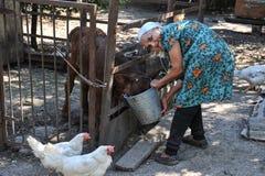 Donna anziana che alimenta un vitello da un secchio Immagini Stock