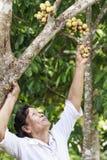 Donna anziana che seleziona la frutta lunga del kong dall'albero Fotografia Stock