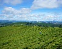 Donna asiatica, agricoltore vietnamita, piantagione di tè Fotografia Stock Libera da Diritti