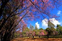 Donna asiatica che prende foto dell'albero himalayano selvaggio dei fiori di ciliegia Immagine Stock Libera da Diritti
