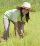 Donna asiatica nel giacimento del riso, Tailandia Fotografie Stock Libere da Diritti