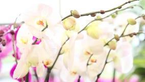 Donna che cammina nel giardino, orchidee di tocchi video d archivio