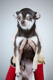Donna che giudica il suo cane della chihuahua isolato su fondo grigio Immagine Stock Libera da Diritti