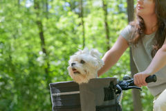 Donna che guida una bici con il suo cane immagini stock