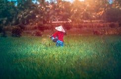 Donna che lavora alla piantagione del riso Fotografie Stock Libere da Diritti