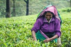 Donna che lavora alla piantagione di tè dello Sri Lanka Immagini Stock