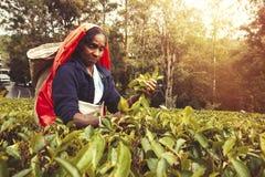 Donna che lavora alla piantagione di tè dello Sri Lanka Immagine Stock