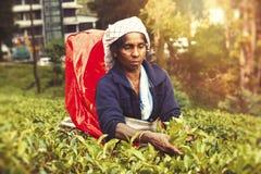 Donna che lavora alla piantagione di tè dello Sri Lanka Immagine Stock Libera da Diritti