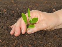 Donna che pianta l'alberello dell'agrume Immagini Stock