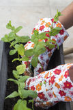 Donna che pianta menta in contenitore Fotografia Stock
