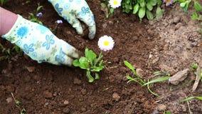 Donna che pianta un fiore su un letto di fiore archivi video