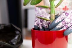 Donna che pianta una pianta in un vaso rosso con i guanti decorativi sviluppisi immagini stock libere da diritti