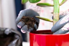 Donna che pianta una pianta in un vaso rosso con i guanti decorativi sviluppisi fotografie stock libere da diritti