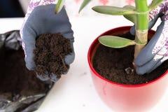 Donna che pianta una pianta in un vaso rosso con i guanti decorativi sviluppisi immagine stock